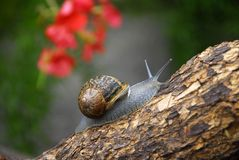 Snail. Close up of a snail slowly going on a branch Royalty Free Stock Images