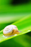 Snail. The snail on a leaf of a plant in a garden Stock Image