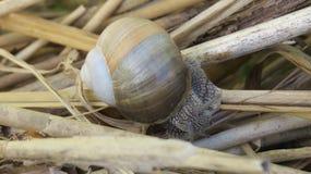 Snail Royaltyfri Fotografi