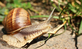 Snail. Close-up on a snail Royalty Free Stock Photo