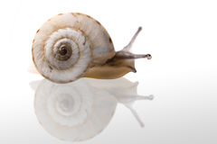 Free Snail Royalty Free Stock Photography - 5721037