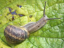 Snail. On a bright green leaf Royalty Free Stock Images