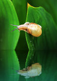 Snail. On a leaf reflected in water stock photography