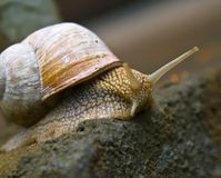 Snail. Close-up of a garden snail Royalty Free Stock Photo