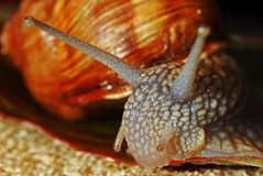 Snail. Portrait of a snail when eat Stock Photography