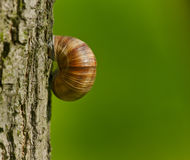 Snail. In a wild forest Royalty Free Stock Photography