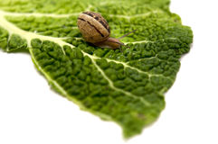 Snail. A snail (Helix pomatia) on a leaf on a white background Royalty Free Stock Photo