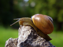 Snail. Climbing up the stone Royalty Free Stock Images