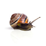 Snail. Roman snail on white background Royalty Free Stock Images