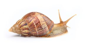 Snail. Isolated snail on white background stock photography
