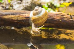 Snail above water on branch Stock Photo