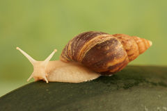 Snail Achatina Stock Photos