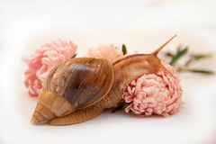 Snail Achatina in asters Royalty Free Stock Images