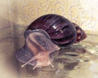 Snail Achatina_2 Stock Photo