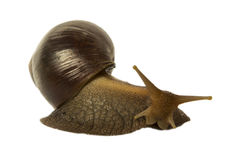 Snail Achatina fulica brown. Isolated snail Achatina fulica on a white background Stock Images