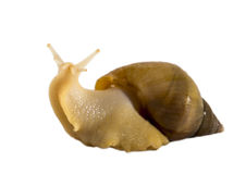 Snail Achatina fulica yellow. Isolated snail Achatina fulica on a white background Royalty Free Stock Image