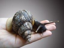 Snail. Stock Photography