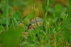Snail Amphibian Royalty Free Stock Images