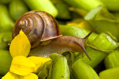 Snail And Water Lily Royalty Free Stock Photography