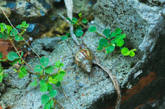 Snail. Animal closeup leaves branch green concrete mortar rainyday Royalty Free Stock Image