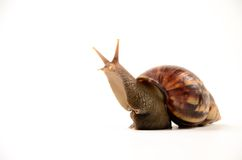 Snail animal isolated Royalty Free Stock Image