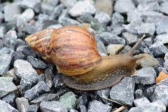 Snail. A snail is animal likes the moistness and earn one's living to follow the ground Royalty Free Stock Photography