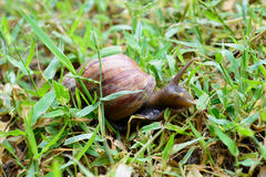 Snail. A snail is animal likes the moistness and earn one's living to follow the ground Stock Images