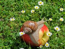 Snail on apple Royalty Free Stock Image