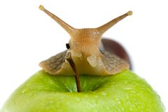Snail and apple Stock Photography