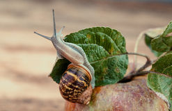 Snail on Apple Royalty Free Stock Photos