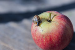 Snail on apples Stock Images