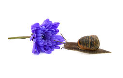 Snail approaches a cut blue chrysanthemum bloom Stock Photography