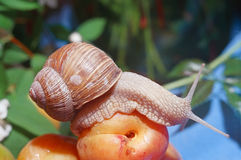 Snail on apricot Royalty Free Stock Images