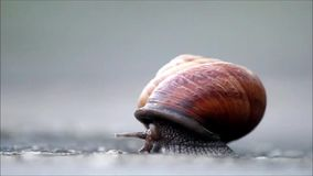 The snail Arianta arbustorum slowly crawls out of its shell. stock footage
