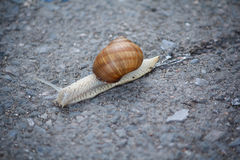 Snail on the asphalt cloe up. Nature Royalty Free Stock Photography