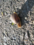 Snail on Asphalt. Crawling snail with shell on its back on asphalt in the sun Royalty Free Stock Images