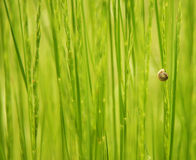 Snail attached to stem Stock Images