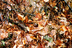 Snail on autumn leaves Royalty Free Stock Image