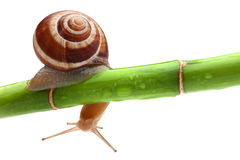 Snail with bamboo Royalty Free Stock Images