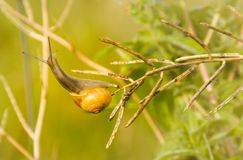 Snail on bare branch Royalty Free Stock Photography