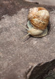 Snail basking on a rock close-up Stock Image