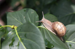 Snail basks on a branch close up Royalty Free Stock Images