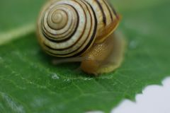 Snail in the bathroom on a green leaf stock photography