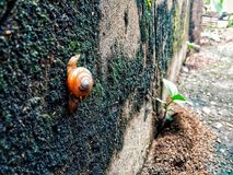 Snail climbing on the wall stock photography