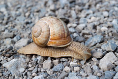 Snail. Big, beautiful snail crawling on the rocks Stock Image