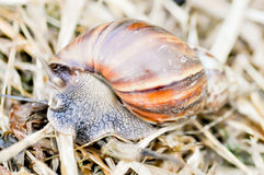 Snail. A big snail on the floor Royalty Free Stock Image