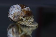 Snail. A big snail snail's pace takes a walk Royalty Free Stock Photo