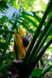 Snail and bird of paradise Puerto Rico. A grey snail climbs on a yellow bird of paradise plant in the jungle in Puerto Rico with green ferns and palms in the Royalty Free Stock Photography