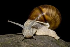 Snail in black background Stock Photo