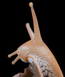 Snail on black background macro Stock Photography